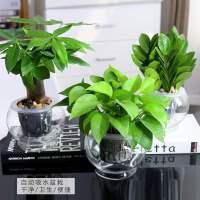 新款 万年青盆栽办公室净化空气花卉银皇后观叶室内植物绿植