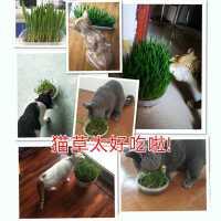 猫草去毛球非已种好种植盆猫零食猫薄荷盆栽草种猫咪懒人种子用品